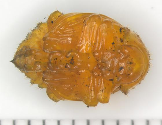 Colorado Potato Beetle, pupa, ventral - Leptinotarsa decemlineata