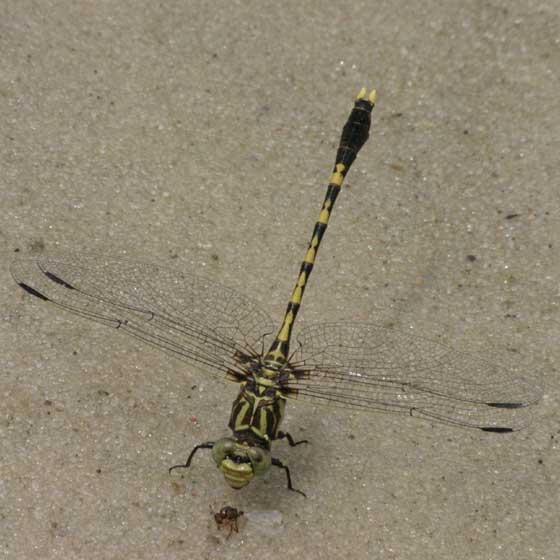 Common Sandragon - Progomphus obscurus