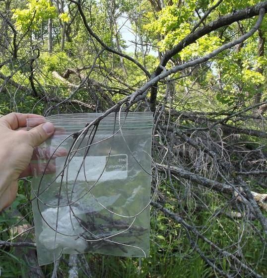 Walnut dead twig tip borer, larval sign - Anelaphus parallelus