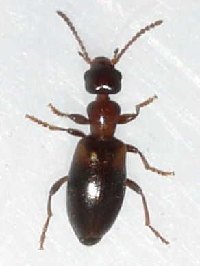 beetle - Omonadus floralis