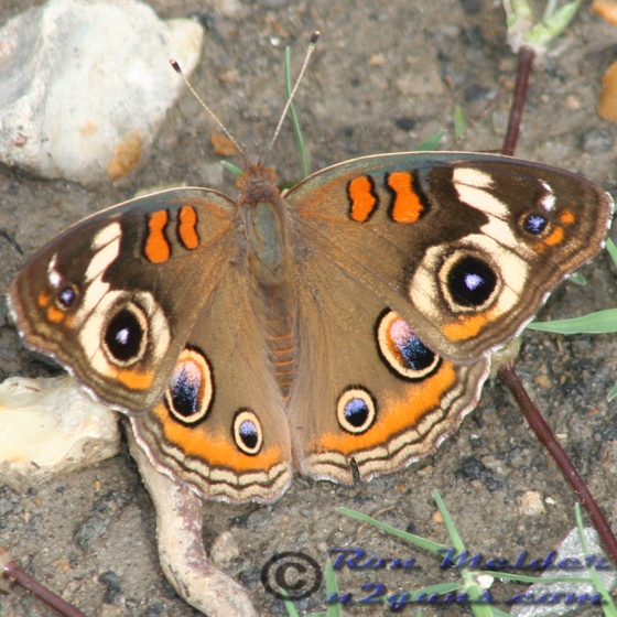 Common Buckeye - Junonia coenia - female