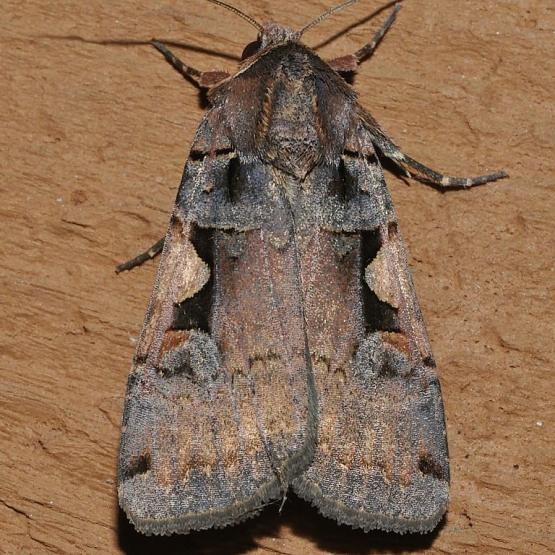 Owlet Moth - Xestia