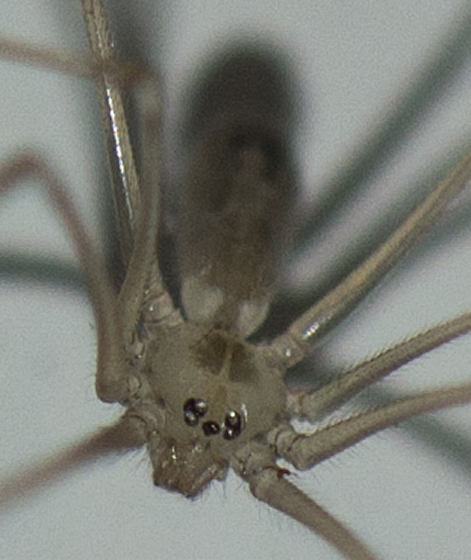 Cheiracanthium sp? - Pholcus phalangioides