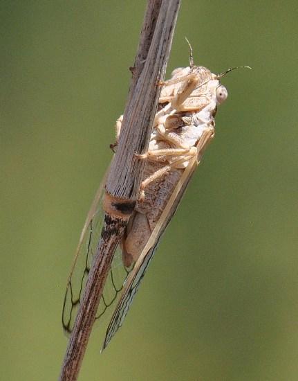unknown cicada - Beameria wheeleri