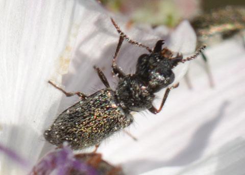 Dasytinid beetle on Twiggy Wreathplant - Asydates grandiceps