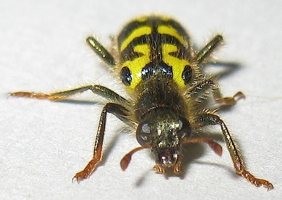 Ornate Checkered Beetle - Trichodes ornatus