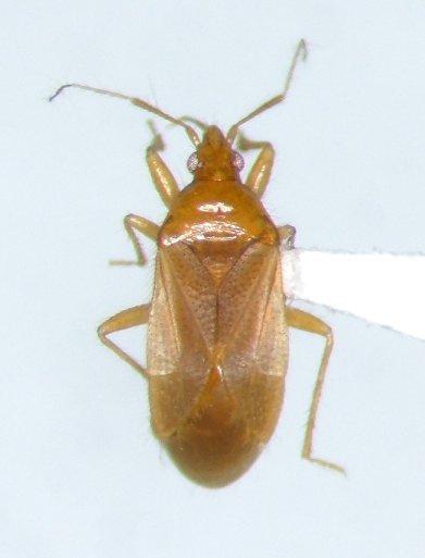Lasiochilus pallidulus - male
