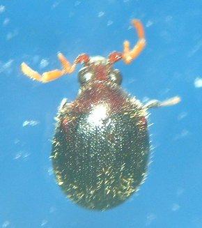 Anobiid - Caenocara bicolor