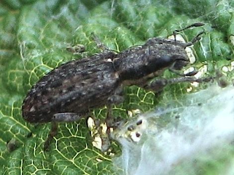 Rough-coated weevil - Sitona californius