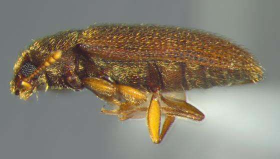 Mycetophagidae, lateral - Typhaea stercorea