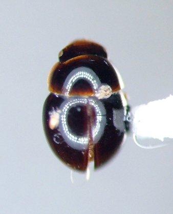 Aglyptinus laevis