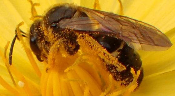Small bee? (Andrena sp?) - Lasioglossum