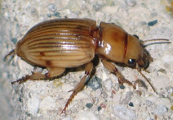 lined yellow beetle - side - Geopinus incrassatus