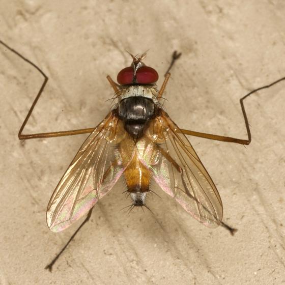 Tachinid Fly - Cholomyia inaequipes - male