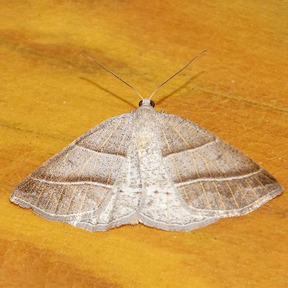 Unidentified Moth-B-20200518 - Petrophora subaequaria