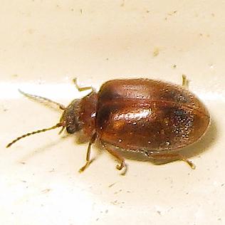 Tiny red-brown night beetles - Contacyphon