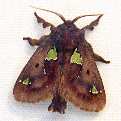Spiny Oak-Slug Moth - Hodges #4697 - Euclea delphinii - male