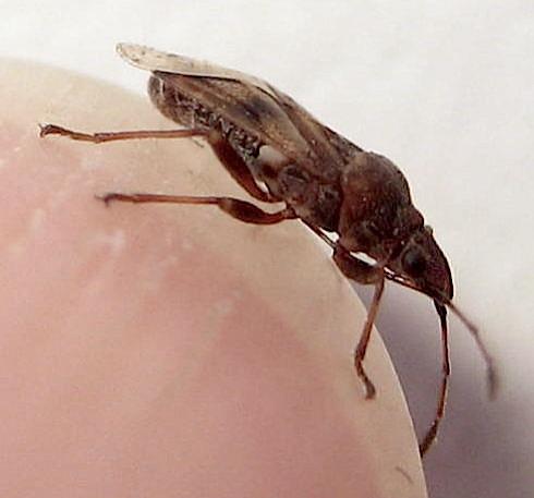 Snouty bug - Kleidocerys resedae