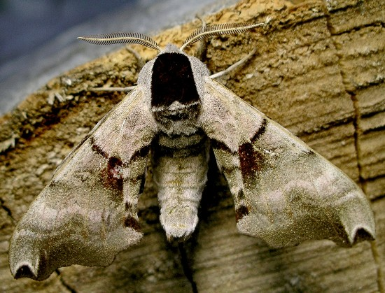 twin-spotted sphinx - Smerinthus jamaicensis