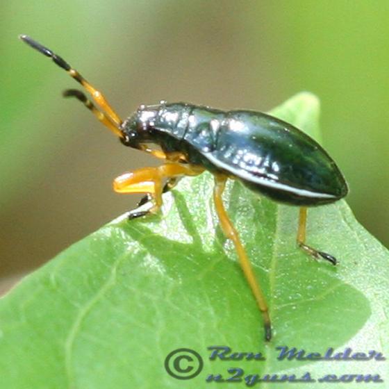 Bug - Largus