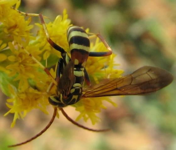 pompilid - Poecilopompilus interruptus - male