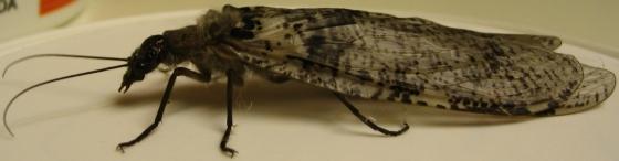 Flying termite, beetle, or ? - Dysmicohermes disjunctus