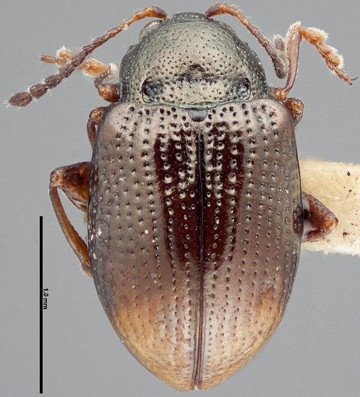 Hippuriphila mancula - female