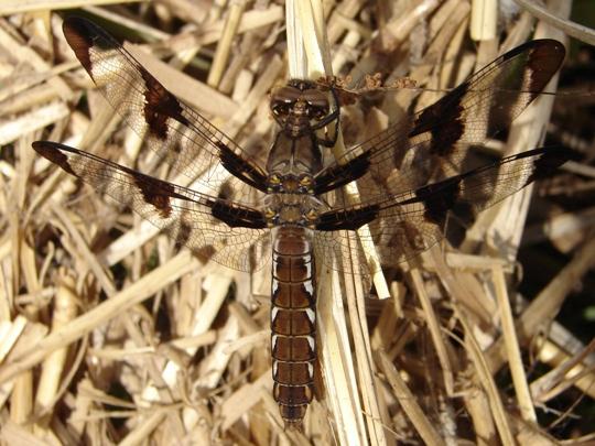 Dragonfly - Plathemis lydia - female