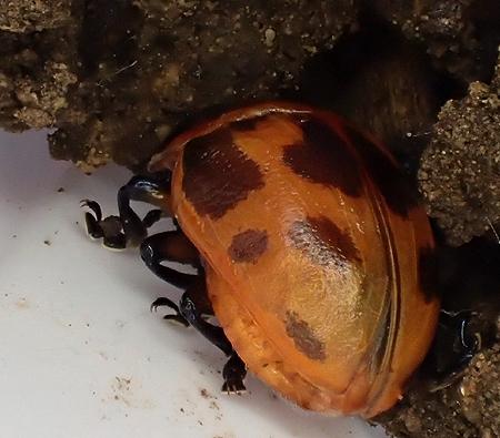 newly emerged Labidomera clivicollis at 11:38am, emerged 11:06am - Labidomera clivicollis