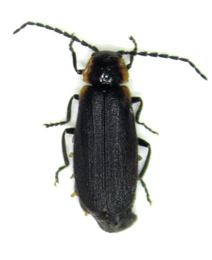 -- - Polemius laticornis