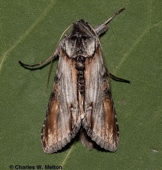 Moth - Cucullia lilacina