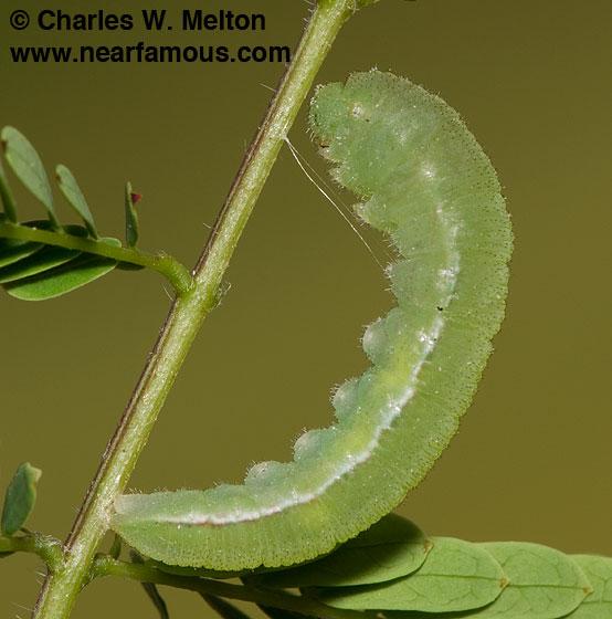 Prepupa - Eurema mexicana