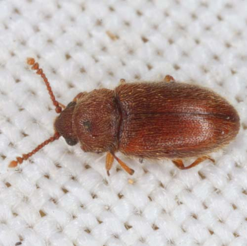 bitty brown beetle - Cryptophagus
