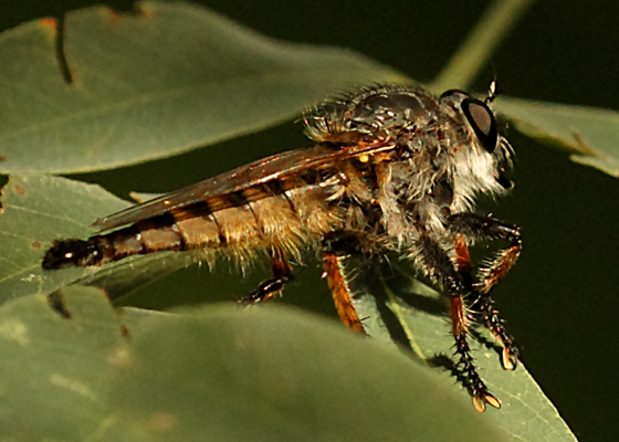 brown robber fly - Promachus sackeni - male