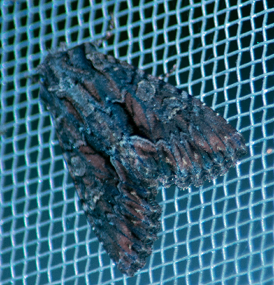 unkown moth-pink on wings - Fishia discors