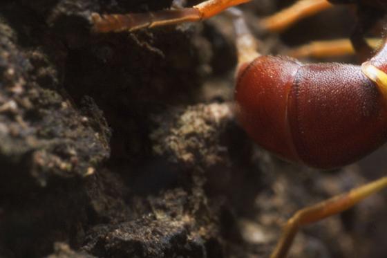 wierd looking wasp/fly - Monoceromyia floridensis