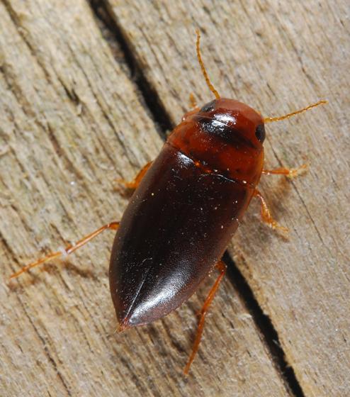 BioBlitz Bug 148 - Celina