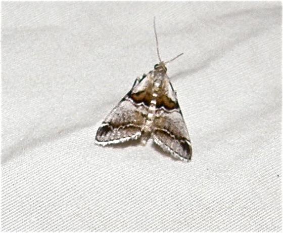 Moth - Tallula beroella