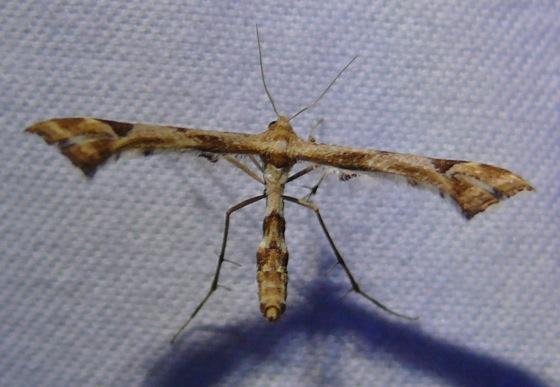 Artichoke Plume Moth? - Platyptilia carduidactylus