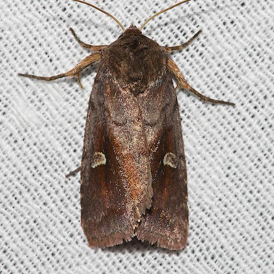 White-eyed Borer Moth - Hodges#9522 - Iodopepla u-album