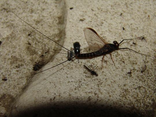 Black mayfly - Leptophlebia