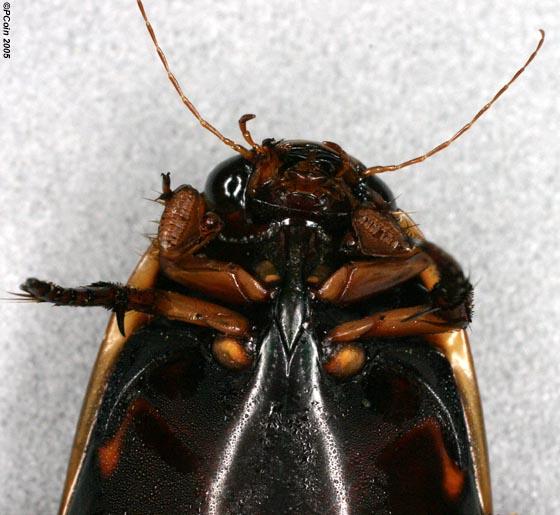 Fringed Diving Beetle - Cybister fimbriolatus - male