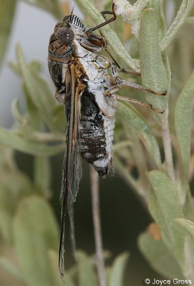 cicada - Diceroprocta eugraphica