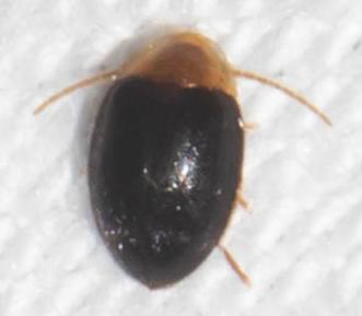 Brown and black beetle - Sacodes thoracica