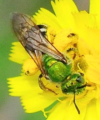Anthophila (Apoidea) - Bees - Agapostemon virescens