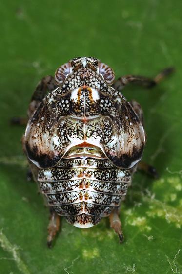 planthopper nymph - Exortus punctiferus