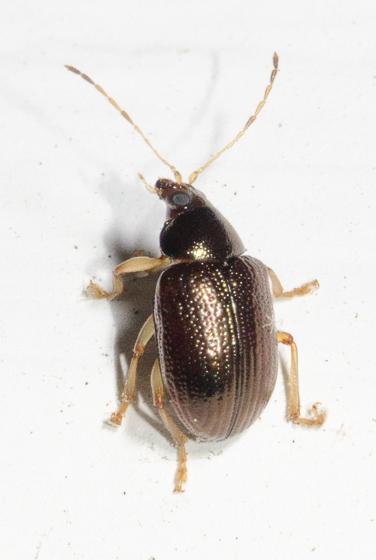 20180630-SEP_6957 - Rhabdopterus