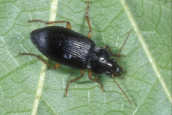 Ground Beetle - Anisodactylus verticalis