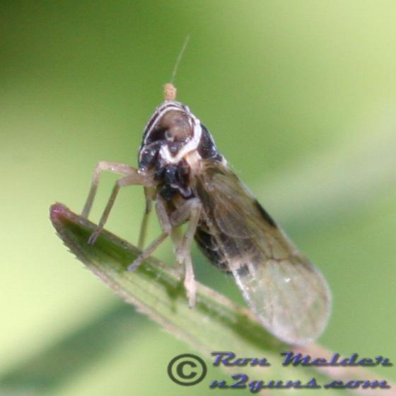 2008-12-25 Planthopper 01 - Delphacodes puella