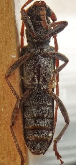 Cerambycidae from recently dead black walnut - Anelaphus parallelus